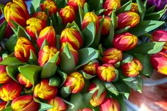 Yellow and red tulips. In the heads royalty free stock photography