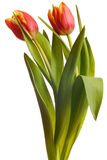 Yellow and red tulips isolated Stock Image