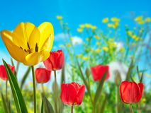 Yellow and red tulips. In the meadow royalty free stock photo