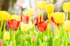 Yellow and red tulips in the park.  Royalty Free Stock Photo