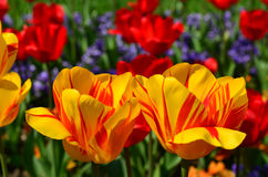 Yellow and red tulips. Park decoration, yellow and red tulips on green surface Stock Photography