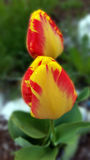 Yellow red tulips. Raindrops over yellow red tulips Royalty Free Stock Image