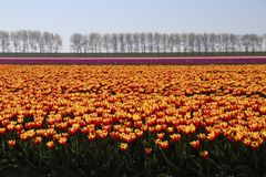 Yellow red tulips in rows in a long flower field in Oude-Tonge o. N the island Goeree Overflakkee in the Netherlands stock photos