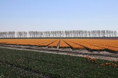 Yellow red tulips in rows in a long flower field in Oude-Tonge o. N the island Goeree Overflakkee in the Netherlands royalty free stock images