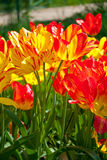 Yellow red tulips in spring Stock Images