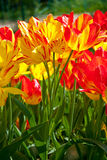 Yellow red tulips in spring Royalty Free Stock Photo