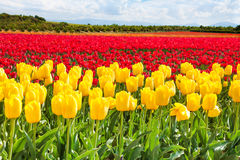 Yellow and red tulips during sunny day in summer Stock Photography