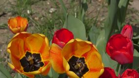 Yellow-red Tulips are swinging in the wind stock video footage