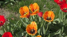 Yellow-red Tulips are swinging in the wind. Yellow-red tulips swinging in the wind on a spring day stock footage