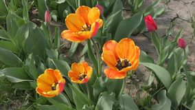 Yellow-red Tulips are swinging in the wind. Yellow-red tulips swinging in the wind on a spring day stock video footage