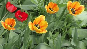 Yellow-red Tulips are swinging in the wind stock footage