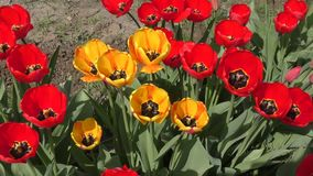 Yellow-red Tulips are swinging in the wind stock video