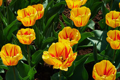 Yellow-red tulips. Yellow-red tulip flowers beautiful sunny spring day Royalty Free Stock Photography