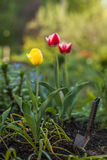 Yellow and red tulips Royalty Free Stock Photos