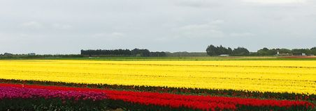 Yellow and red tulips. A vast flat field of yellow and red tulips Royalty Free Stock Photos
