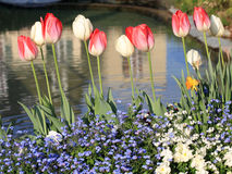 Yellow and red tulips with water drops and pond Stock Photography