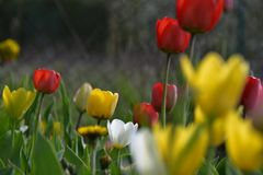 Yellow and Red tulips. In a flowerbed stock photo