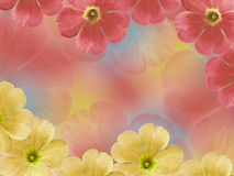 Yellow-red violets flowers. Garden flowers.  Closeup.  For designers, For background. Stock Photo