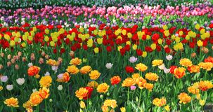 Yellow, red, white and pink tulips. Yellow tulips, orange tulips, red tulips, white tulips, pink tulips, purple tulips stock photography