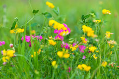 Yellow and red wild flowers Royalty Free Stock Photo