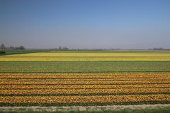 Yellow and red-yellow tulips in a row on a flower field in Oude-. Tonge in the Netherlands Stock Image