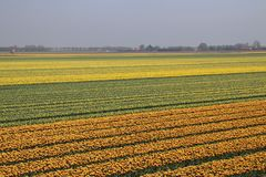 Yellow and red-yellow tulips in a row on a flower field in Oude-. Tonge in the Netherlands Royalty Free Stock Photo