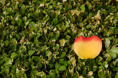 A yellow reddish apple-shaped leaf on green leaves Royalty Free Stock Photo