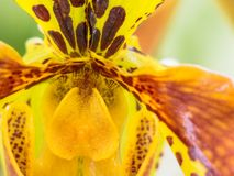 Yellow and reddish colored orchid Stock Photos