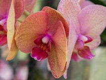 Yellow and reddish colored orchid Royalty Free Stock Photos