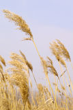 Yellow reed Royalty Free Stock Images