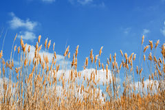 Yellow reed Stock Photos