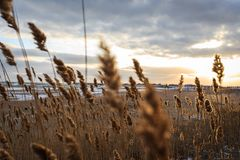 Yellow reed on a snowy beach on the background of the sunrise stock photography