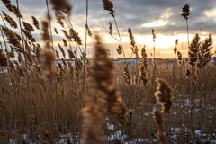 Yellow reed on a snowy beach on the background of the sunrise royalty free stock image
