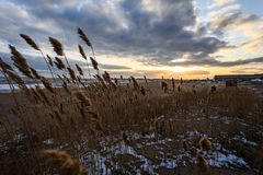 Yellow reed on a snowy beach on the background of the sunrise royalty free stock photos