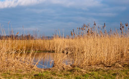 Yellow reeds in Dutch wetlands Royalty Free Stock Photography