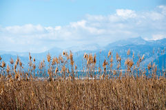 Yellow reeds and mountains. Stock Photo