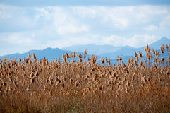 Yellow reeds and mountains. Royalty Free Stock Photography