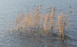 Yellow reeds Royalty Free Stock Photos