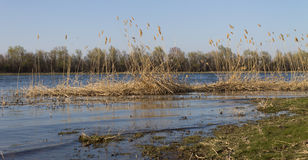Yellow reeds on the river bank.  royalty free stock photo