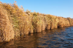 Yellow reeds waving in the wind Stock Photography
