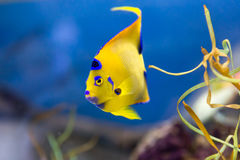 Yellow Reef Fish with Attitude. This yellow, purple, and blue coral reef fish has some attitude with great, colorful eyelashes Stock Photography