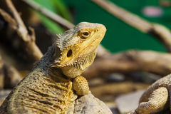 Yellow reptile Stock Photography