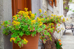 Free Yellow Rhodiola Stock Images - 30613034