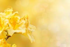 Yellow rhododendron azalea Stock Photos
