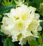 A Yellow Rhododendron bloom. An up close view of a yellow Rhododendron in full bloom stock images