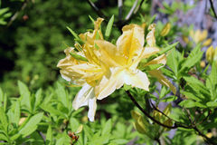 Yellow rhododendron. Rhododendron blossom in springtime at a park stock photo