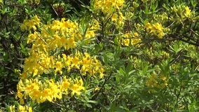 Yellow rhododendron stock video footage