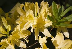 Yellow rhododendron flower. Exotic flower. Royalty Free Stock Photos