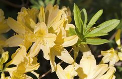 Yellow rhododendron flower. Exotic flower. Stock Images