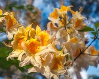 Yellow Rhododendron Flowers against the blue sky. Close up shot of unusual yellow Rhododendron flowers -called Roseum Elegans in Latin - on a blurred background royalty free stock photography